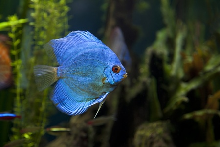 A close up shot of a beautiful Blue Diamond Discus Fish photo