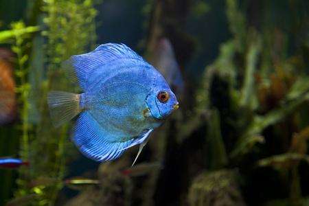 buntbarsch: Eine Nahaufnahme von einem sch�nen Blue Diamond Diskusfische erschossen Lizenzfreie Bilder