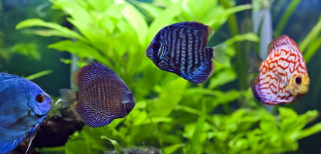 A group of colorful discus fish.