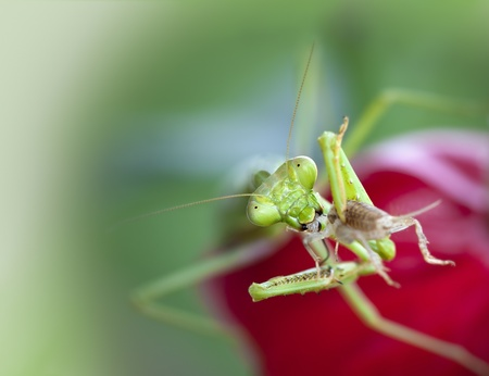 An macro shot of a praying mantis feasting on a cricket. photo