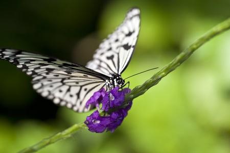 A macro shot of a Paper Kite Butterfly (Idea leuconoe) feeding on some flowers.