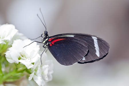 A macro shot of a Sara Longwing Butterfly (Heliconius sara) on some flowers with room for copy space. Stock Photo - 11869766