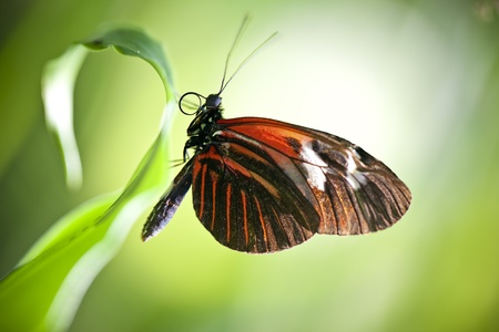 A macro shot of a Small Postman Butterfly (Heliconius erato reductimaculata) on a leaf with lots of room for copy space. Stock Photo - 11869763