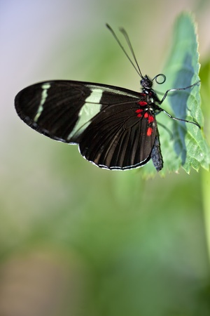 A macro shot of a Sara Longwing Butterfly (Heliconius sara) on a leaf with room for copy space. Stock Photo - 11869765
