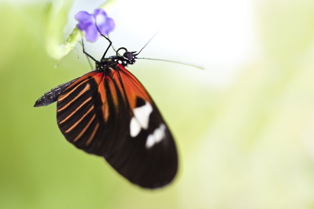 A macro shot of a Small Postman Butterfly (Heliconius erato reductimaculata) on a leaf with lots of room for copy space.  Stock Photo - 11869756