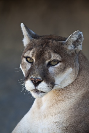 A close-up shot of a Mountain Lion (Puma concolor). Stock Photo