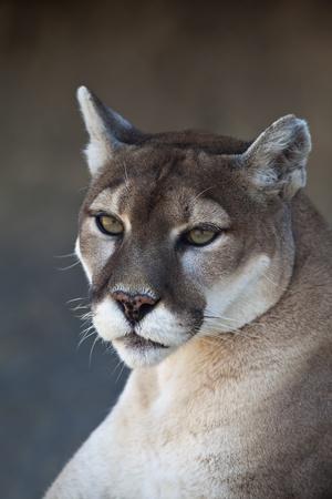 puma: A close-up shot of a Mountain Lion (Puma concolor). Stock Photo