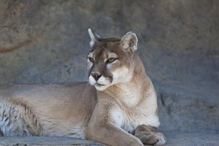 A close-up shot of a Mountain Lion (Puma concolor). Stock Photo