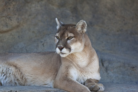 A close-up shot of a Mountain Lion (Puma concolor). photo