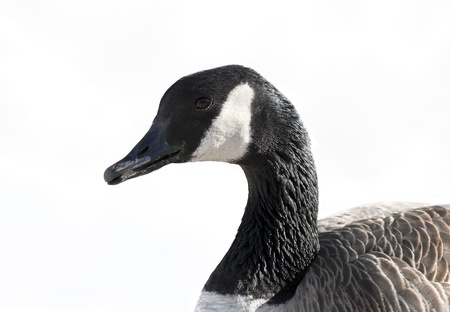 A close up shot of a Canada Goose (Branta canadensis). photo