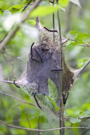 communal: A communal tent of Eastern Tent Caterpillars (Malacosoma americanum)