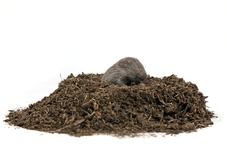 A tiny mole coming emerging out of a pile of dirt on a solid white background. Foto de archivo