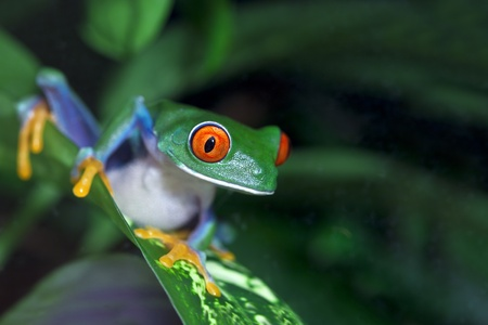 red eyed leaf frog: Red Eyed Tree Frog (Agalychnis callidryas) in the rainforest. Stock Photo