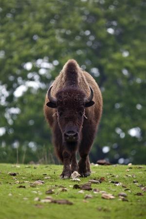american bison: An American Bison (Bison bison) walking straight towards the camera.