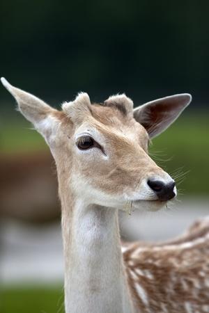 odocoileus: White tailed deer (Odocoileus virginianus).