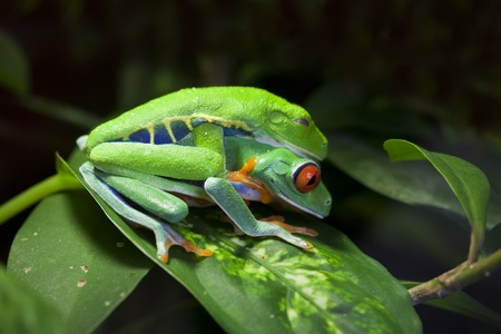 Mating pair of Red Eyed Tree Frogs Agalychnis callidryas in the jungle. Stock Photo - 13414330