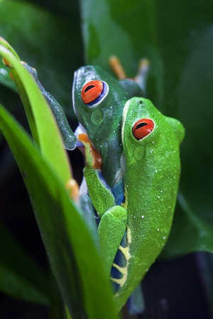 Mating pair of Red Eyed Tree Frogs Agalychnis callidryas in the jungle.