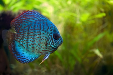 A colorful close up shot of a Discus Fish photo