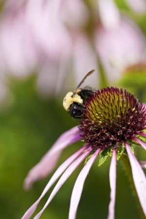 Bumblebee on a purple coneflower (Echinacea purpurea).