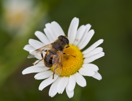 A macro shot of a Honey Bee on a daisy flower. photo