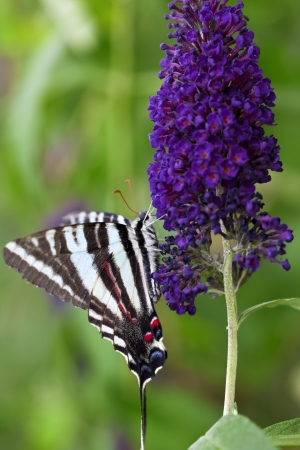 A close up shot of a Zebra Swallowtail Butterfly (Protographium marcellus) on some purple flowers. photo