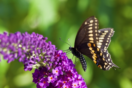 papilio: Female Black Swallowtail Butterfly (Papilio polyxenes).