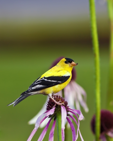 canary bird: Male American Goldfinch (Carduelis tristis) also known as the Eastern Goldfinch and Wild Canary on top of a purple flower. Stock Photo