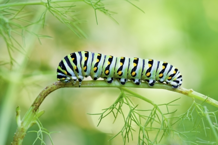 Black Swallowtail Butterfly Caterpillar (Papilio polyxenes)