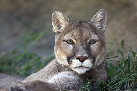 Mountain lion (Puma concolor) laying down in the grass. photo