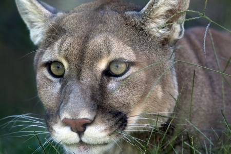 cougar: Mountain lion (Puma concolor) laying in the grass stalking its prey.