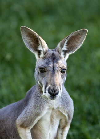 Female Red Kangaroo (Macropus rufus) looking at the camera.