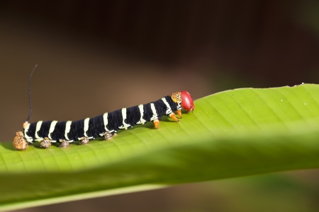 A close up shot of a colorful caterpillar (Pseudosphinx tetrio) shot in tropical Jamaica.
