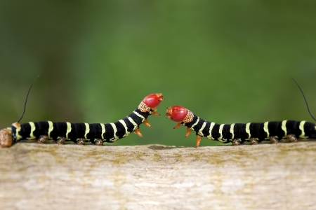 Two colorful caterpillars (Pseudosphinx tetrio) as they cross paths ready to fight or mate. Image was shot in Jamaica.