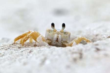 Ghost Crab (Ocypode quadrata) on a white sandy beach. Foto de archivo
