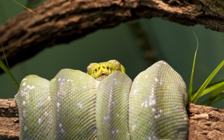 Green Tree Python (Morelia viridis) curled up around a branch of a tree. Foto de archivo
