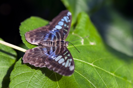 Clipper butterfly (Parthenos sylvia). These butterflies are found in South Asia.