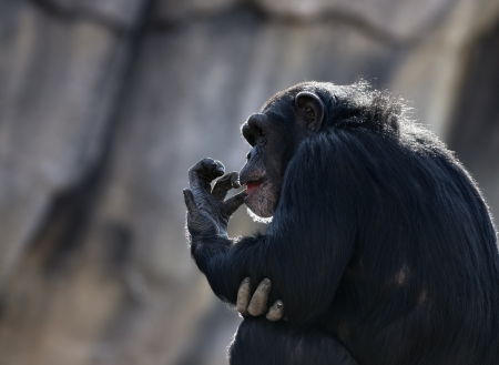 Chimpanzee (Pan troglodytes) sitting and licking its fingers. Foto de archivo