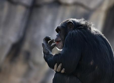 troglodytes: Chimpanzee (Pan troglodytes) sitting and licking its fingers. Stock Photo