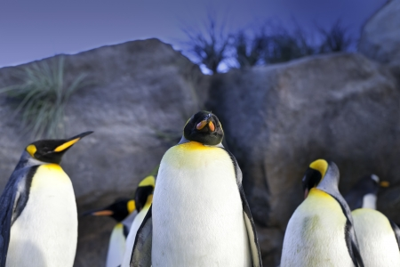 King Penguins (Aptenodytes patagonicus) 版權商用圖片