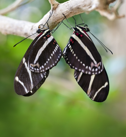 Mating Zebra Longwing Butterflies (Heliconius charithonia).