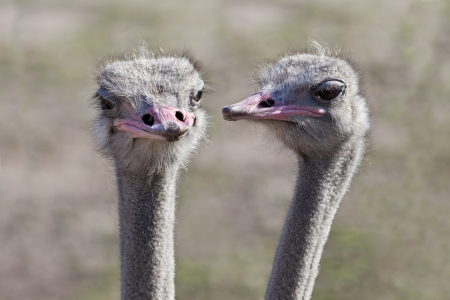 struthio camelus: Two ostriches (Struthio camelus) that appear to be having a conversation with each other. Stock Photo