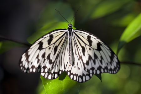 Paper kite butterfly (Idea leuconoe). Stock Photo - 17170866