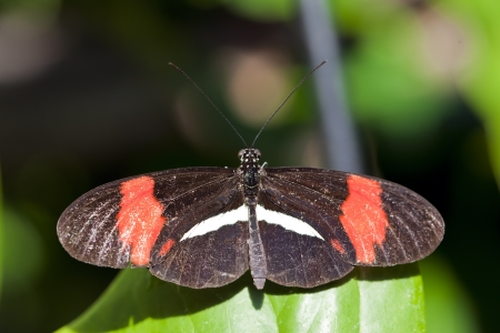Red Postman Butterfly (Heliconius erato). Stock Photo - 17170854