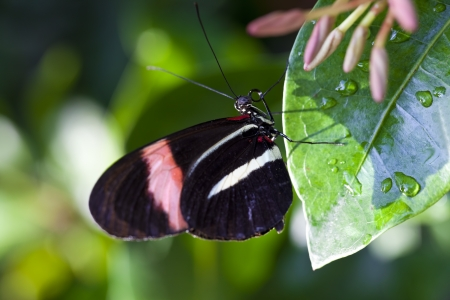 Red Postman Butterfly (Heliconius erato).