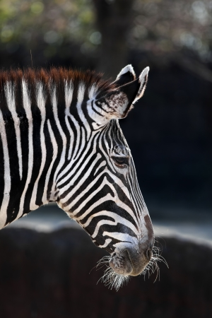A close up shot of a Grevy's Zebra (Equus grevyi) also known as the imperial zebra. This is the most endangered species of zebras.