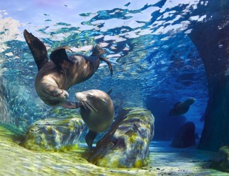 Verspielt California Seelöwen (Zalophus californianus) kommen zusammen für einen Kuss unter Wasser, während ein anderer Seelöwen durch die Bahn im Hintergrund schwimmt.