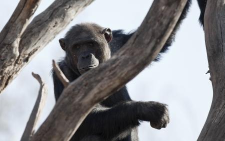 troglodytes: Chimpanzee (Pan troglodytes) in the branches of a tree. Stock Photo
