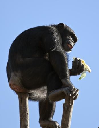 troglodytes: Chimpanzee (Pan troglodytes) eating some food. Stock Photo