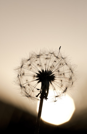 Dandelion as the sun sets behind it  Foto de archivo