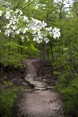 dogwood tree: Flowering Dogwood Tree Along a Pathway on a Trail in Arkansas